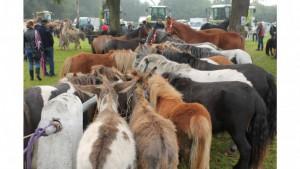 Ems-Zeitung - Pferderudel auf dem Rheder Markt