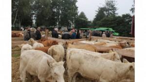 Ems-Zeitung - mehr als 100 Rinder standen zum Verkauf